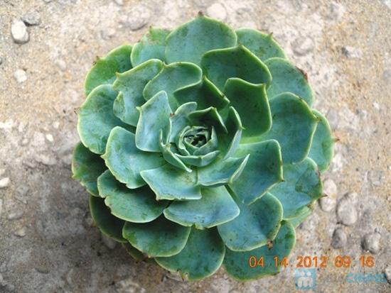 Phiếu mua cây sen đá kiểng nâu hoặc xanh xinh xắn - Chỉ 57.000đ/ 01 cây - 7