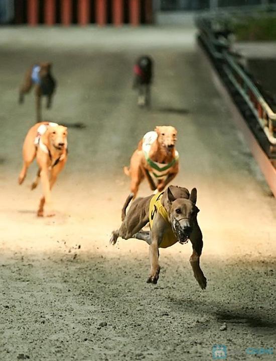 Cho bạn những phút giây xem đua chó thật cực vui và gây cấn tại chỉ 540.000đ/2 vé - 15