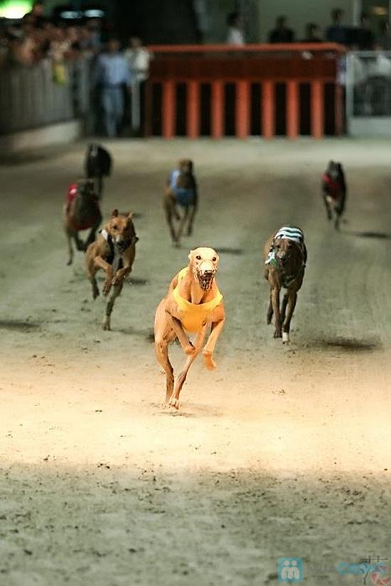 Cho bạn những phút giây xem đua chó thật cực vui và gây cấn tại chỉ 540.000đ/2 vé - 17