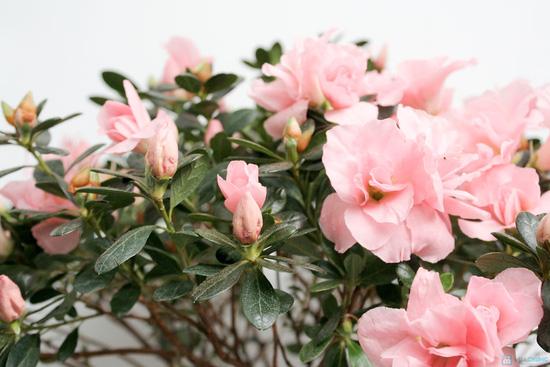 Tết may mắn và hạnh phúc với chậu cây đỗ quyên tự nhiên - 4
