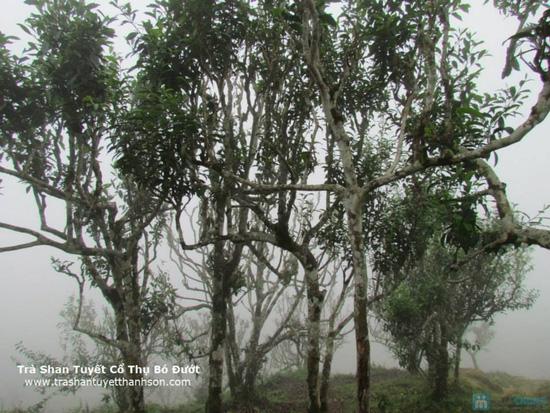 Trà Shan tuyết Thác Khuổi Lùng (gói 500gr) - 3