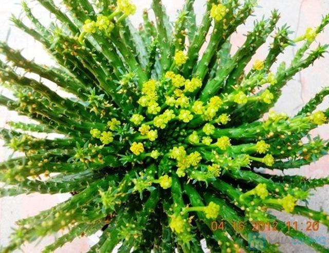 Phiếu mua cây sen đá kiểng nâu hoặc xanh xinh xắn - Chỉ 57.000đ/ 01 cây - 1