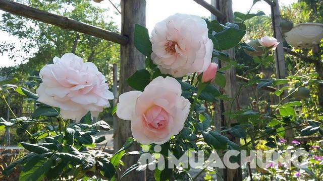 Làm chủ toàn bộ nhà vườn Rose House 2N1Đ- Hòa Bình - 3
