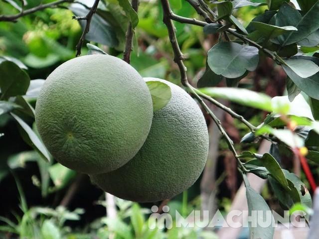 3 quả bưởi da xanh Hương miền Tây (~ 1kg/quả) - 4