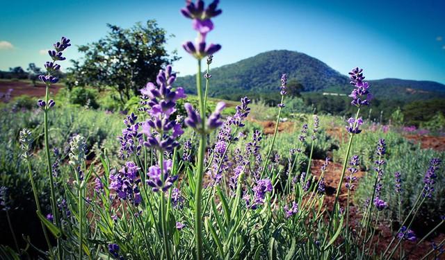 Tour Đà Lạt - Đồi Lavender - Làng Cù Lần - Linh Quy Pháp Ẩn 3N3Đ - 21