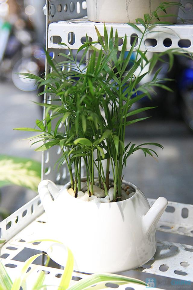 cây cau tiểu trâm trồng trong nước4