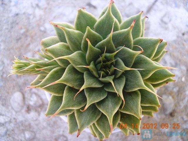 Phiếu mua cây sen đá kiểng nâu hoặc xanh xinh xắn - Chỉ 57.000đ/ 01 cây - 9