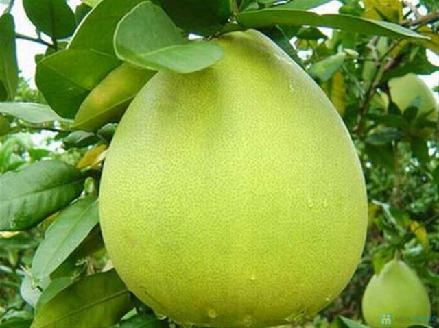 Combo 2 quả bưởi da xanh Biên Hòa ( loại 1,2kg-1,5kg) - 3